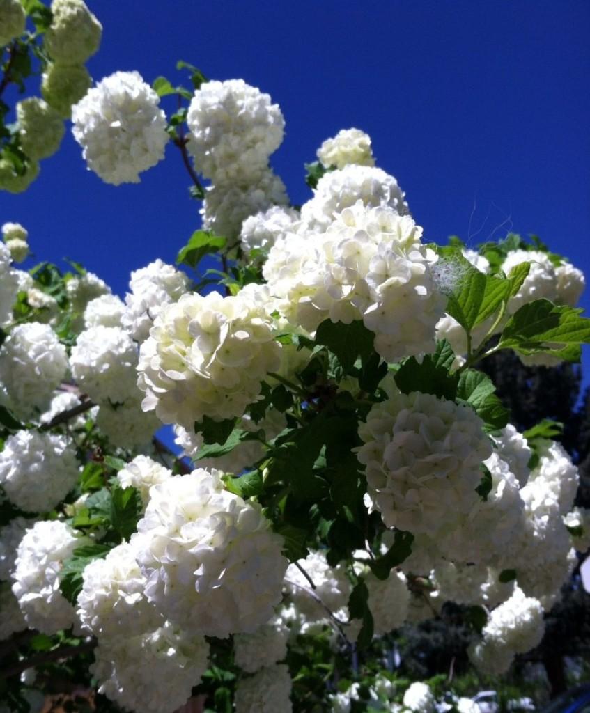 Snowball Bush in Parker, Colorado