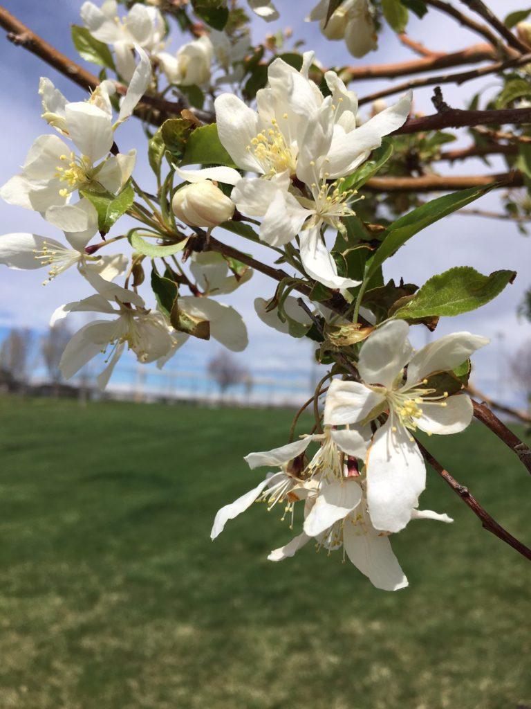 Flowering Fruit Tree in Parker, Colorado