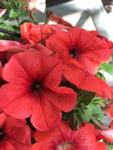 Petunias, Melody Jones